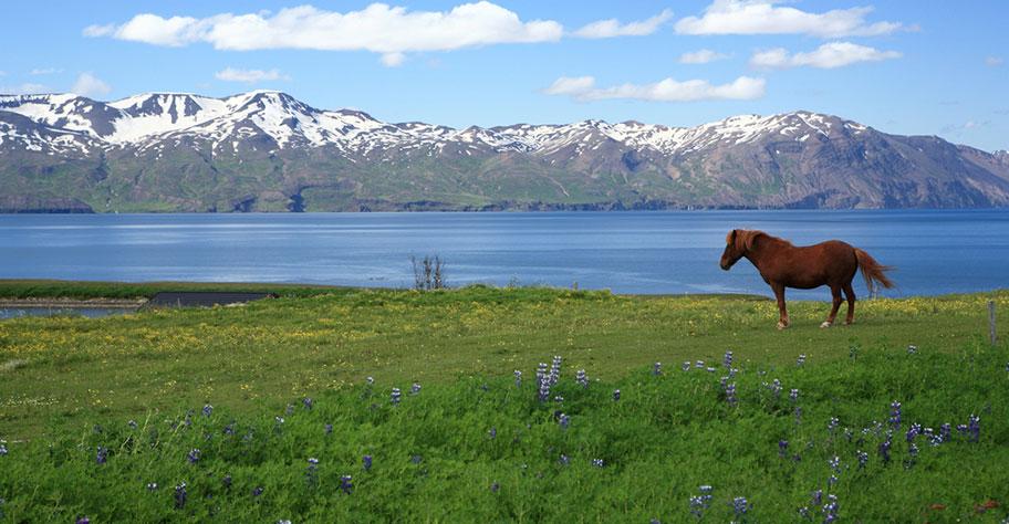 Island Pferd vor traumhafter Kulisse