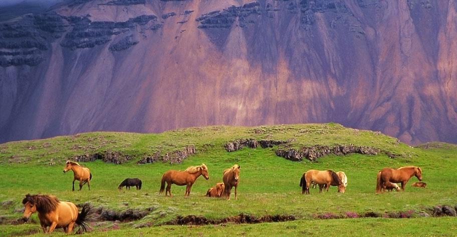 Island pferde wiese gründ berge