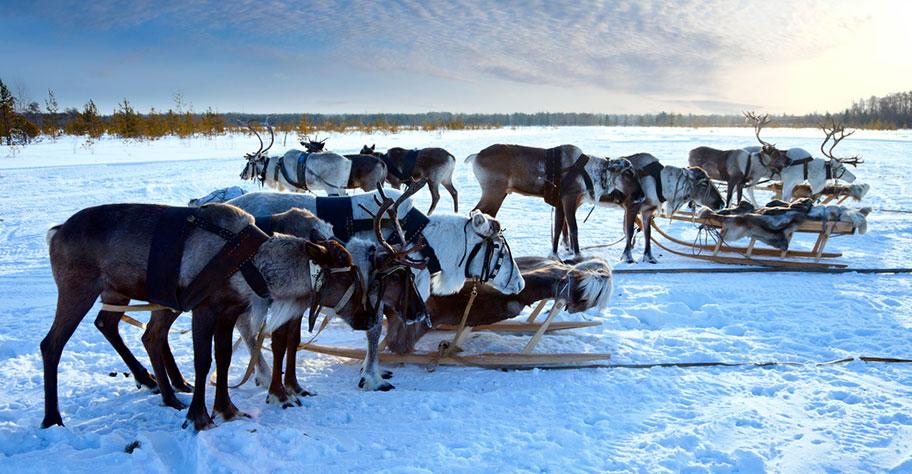Rentier Reisen Lappland buchen