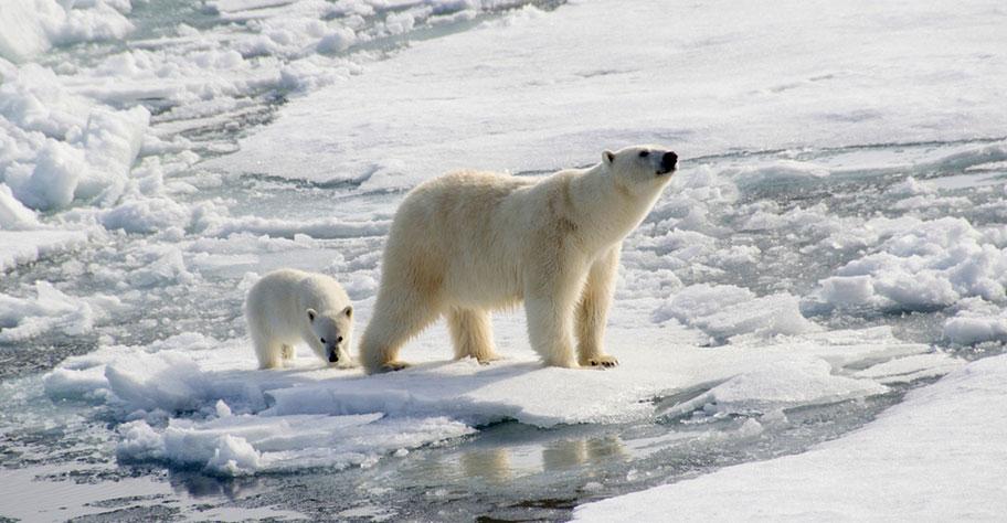 Spitzbergen Rundreise Eisbären Wildlife