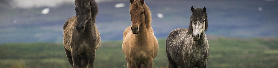 Island Reitferien